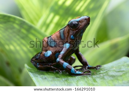 poison dart frog, Dendrobates auratus from the tropical rain forest of Panama. Beautiful tropical and exotic amphibian and poisonous animal. Macro portrait of this small rainforest animal. - stock photo
