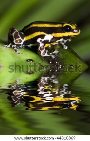 Poison dart frog, Dendrobates lamasi with reflection - stock photo