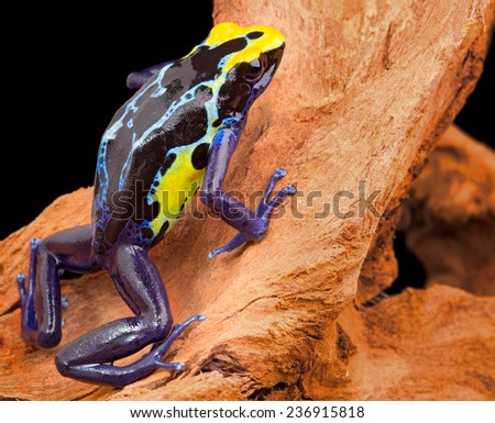 poison dart frog, Dendrobates tinctorius from the Amazon rain forest near the border of Suriname and Brazil. beuatiful macro of exotic amphibian - stock photo