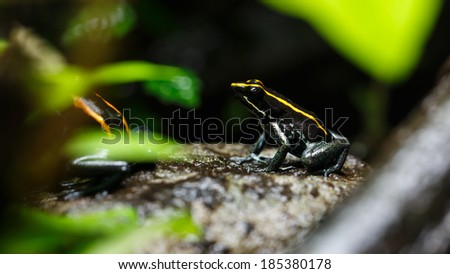 Poison Dart Frog (Dendrobatidae) on a Rock, Tropical Exotic Animal Living in Amazon Rain Forest - stock photo