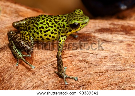 poison dart frog of Panama rainforest Strawberry frog Oophaga pumilio green yellow with black spots - stock photo