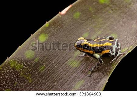 Poison dart frog Peru rain forest, Ranitomeya lamasi panguana. A beautiful tropical and poisonous rainforest animal. - stock photo