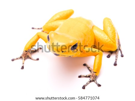 poison dart frog, Phyllobates terribilis golden yellow. Most poisonous animal from the Amazon rain forest in Colombia, a dangerous amphibian with warning colors. Isolated on white