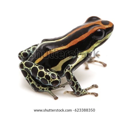 poison dart frog, Ranitomeya uakarii. A small Dendrobates species from the Amazon rain forest in Peru. This animal lives in tropical Amazon rain forest of Peru. Isolated on white background.