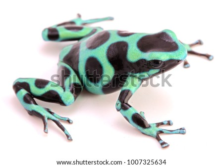 poison dart or arrow frog, Dendrobates auratus from the tropicla rain forest of Costa Rica and Panama isolated on a white background.