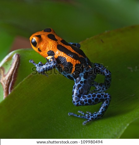 poison frog bright red and blue legs in amazon rain forest in Peru, poisonous animal of tropical rainforest, pet in terrarium - stock photo