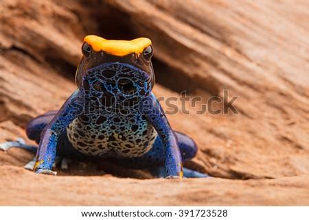 poison frog, dendrobates tinctorius - stock photo