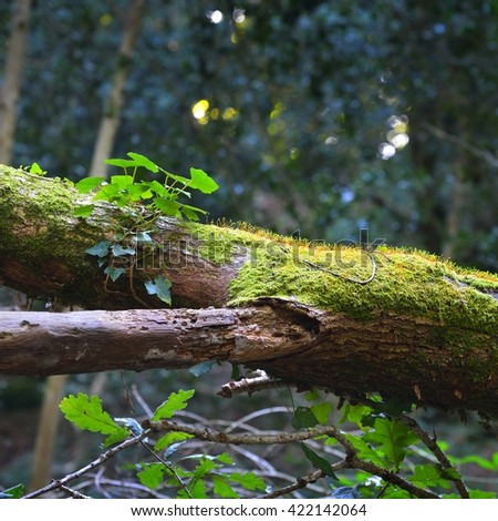 Poison ivy growing on a mossy tree trunk in a deciduous forest - stock photo