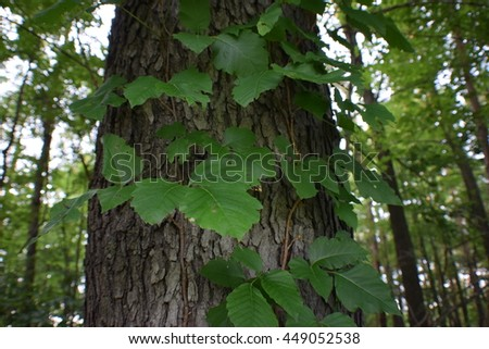 Poison Ivy growing up the side of an Oak Tree - stock photo