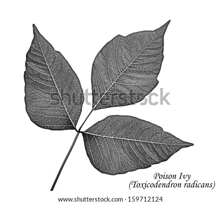 Poison Ivy leaves along with its common and Latin name isolated on a white background. - stock photo