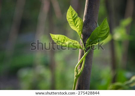 Poison ivy vine, toxicodendron radicans, growing up the side of a tree - stock photo