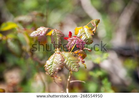 Poison Oak Branch 2 - stock photo