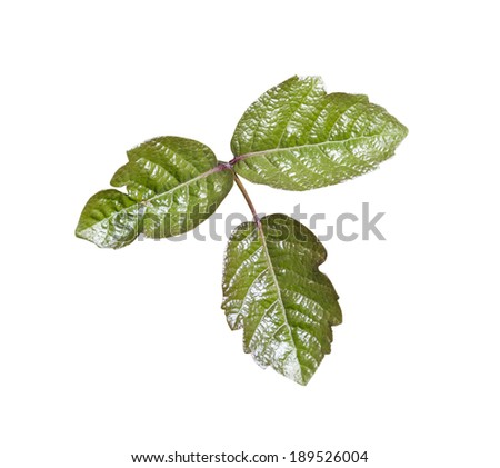 Poison Oak leaves isolated with clipping path. - stock photo