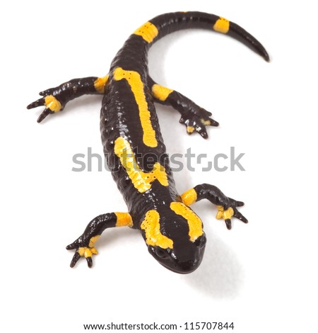 poisonous animal fire salamander with bright yellow orange warning colors beautiful toxic amphibian Salamandra - stock photo