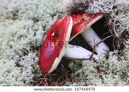 Poisonous fly agaric growing in reindeer lichen - stock photo