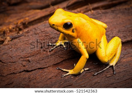 poisonous frog, poison dartfrog Phyllobates terribilis a dangerous animal from the tropical rain forest of Colombia. Toxic amphibian with bright yellow and orange colors