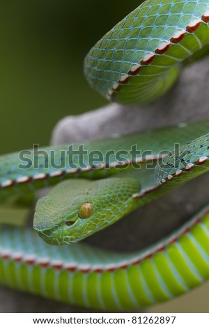 Poisonous Green Snake with yellow eyes Vogel's Pit Viper (Trimeresurus vogeli)
