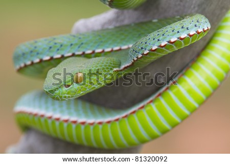 Poisonous Green Snake with yellow eyes Vogel's Pit Viper (Trimeresurus vogeli) - stock photo
