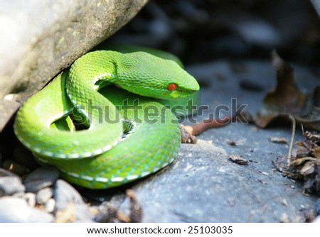 poisonous snake