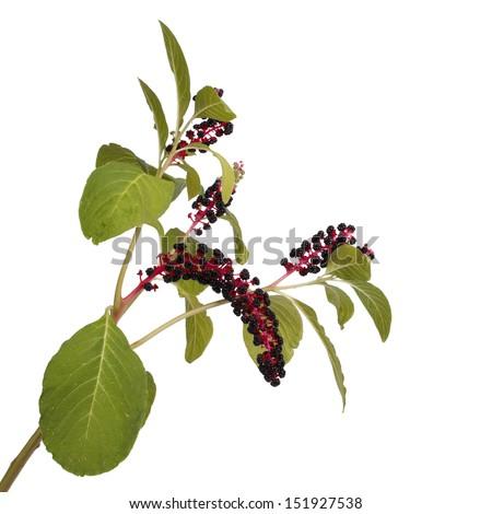 Pokeweed isolated on white background - stock photo