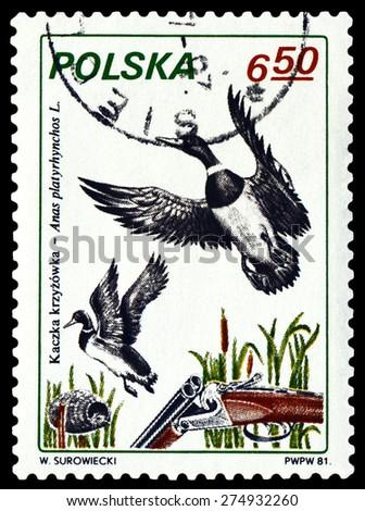 POLAND - CIRCA 1981: A Stamp printed in Poland shows image bird  Fen Duck,  series Trophies, circa 1981. - stock photo
