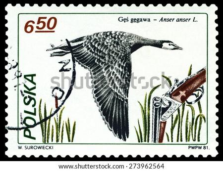 POLAND - CIRCA 1981: A Stamp printed in Poland shows image  Greylag goose,  series, circa 1981. - stock photo