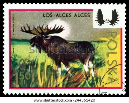 POLAND - CIRCA 1973: A Stamp printed in Poland shows image  Moose,  series, circa 1973  - stock photo