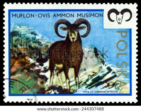 POLAND - CIRCA 1973: A Stamp printed in Poland shows image  Moufflon,  series, circa 1973  - stock photo