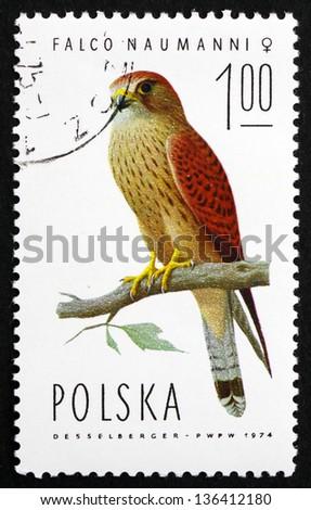 POLAND - CIRCA 1975: a stamp printed in the Poland shows Lesser Kestrel Falcon, Falco Naumanni, Bird of Prey, Female, circa 1975 - stock photo