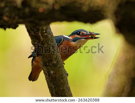 Poland in June.Common Kingfisher with caught fish is sitting on the branch of the felled tree - stock photo