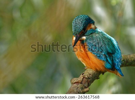 Poland in June.Kingfisher he is sitting on the branch and is expecting his acquisition in the river. - stock photo