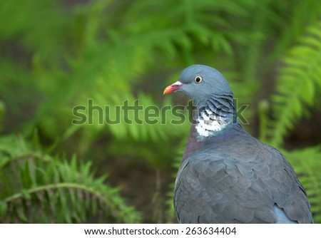 Poland in summer.Portrait of the Wood pigeon(Columba palumbus).He is sitting on the earth and in the background one can see ferns - stock photo