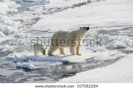 Polar Bear and Cub hunting seals - stock photo