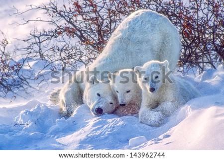 Polar bear and cubs snow flying - stock photo