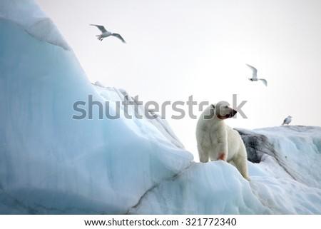 Polar bear and rare ivory gulls in natural environment - stock photo