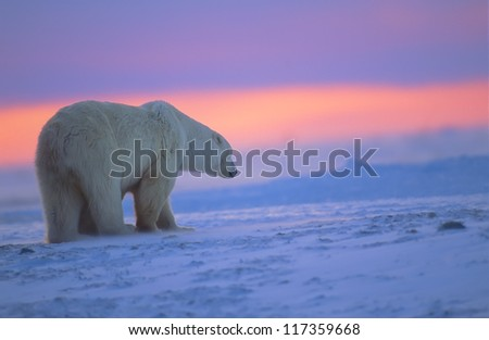 Polar bear at sunset - stock photo