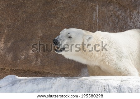 Polar bear at Tennoji Zoo
