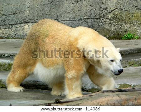 Polar bear at the San Francisco Zoo. - stock photo