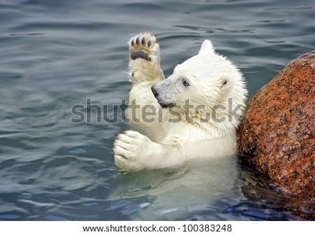 Polar bear baby play in water - stock photo