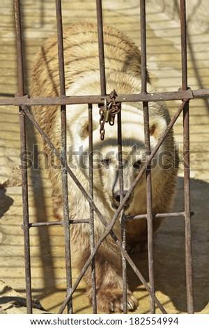 Polar bear caged - stock photo