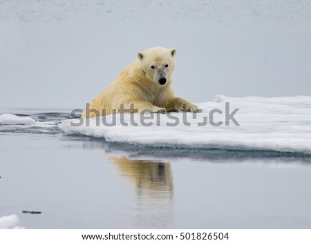 Polar bear  crawls up on floating  ice