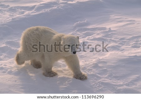 Polar bear cub in Canadian Arctic - stock photo
