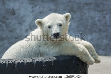 Polar bear cub on tire bed - stock photo