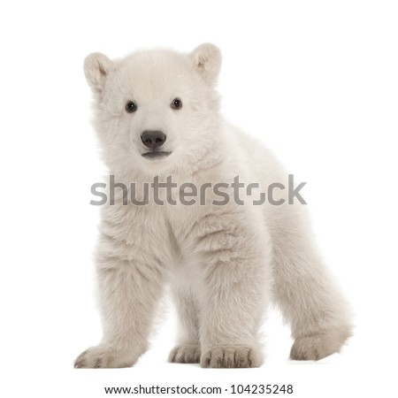 Polar bear cub, Ursus maritimus, 3 months old, standing against white background - stock photo