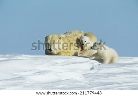 Polar Bear cubs with mother in snow Yukon - stock photo