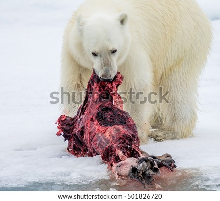 Polar bear eats bloody seal in Spitzbergen