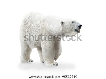 Polar bear female isolated on white background - stock photo