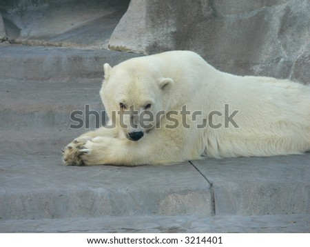 polar bear from the zoo in Buenos Aires