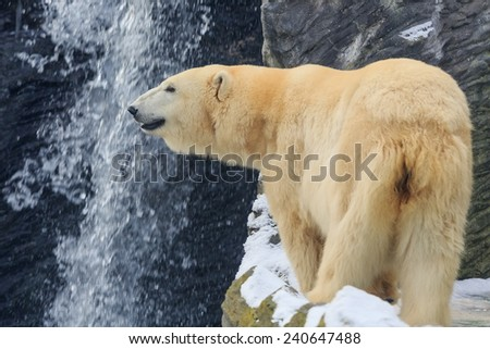 polar bear front of waterfall