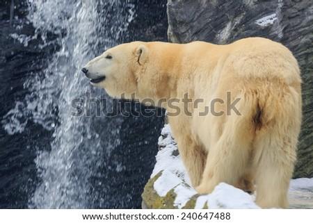 polar bear front of waterfall - stock photo